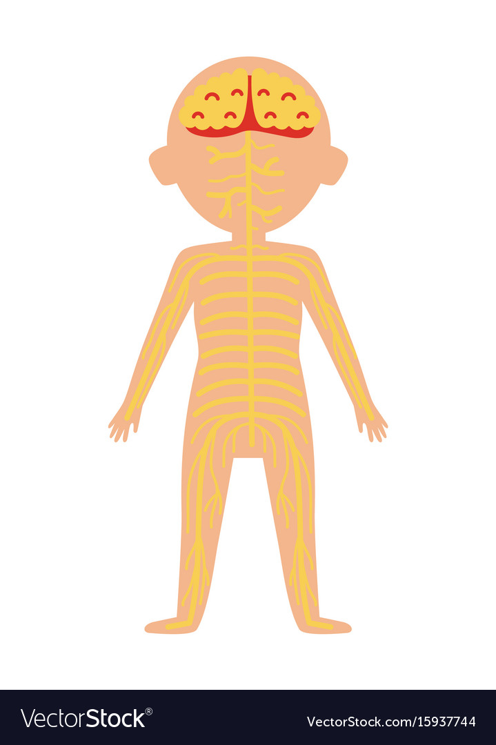 Boy Body Anatomy With Nervous System Royalty Free Vector
