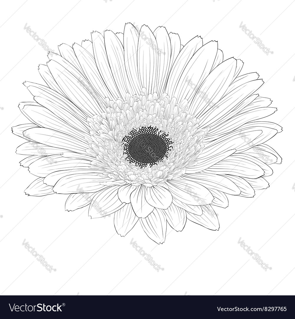 Black and white gerbera flower isolated royalty free vector black and white gerbera flower isolated vector image mightylinksfo Choice Image