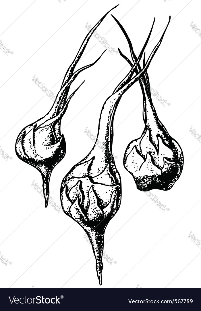 Sagittaria plant vector image