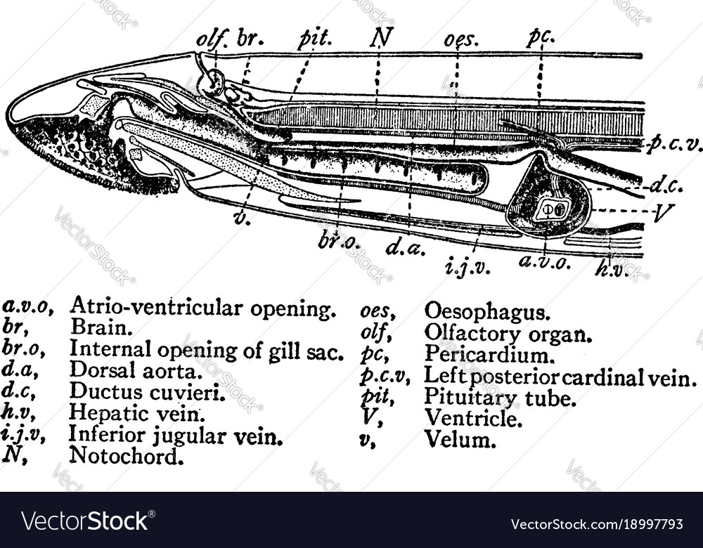 Cross Section View Of A Sea Lamprey Vintage Vector Image