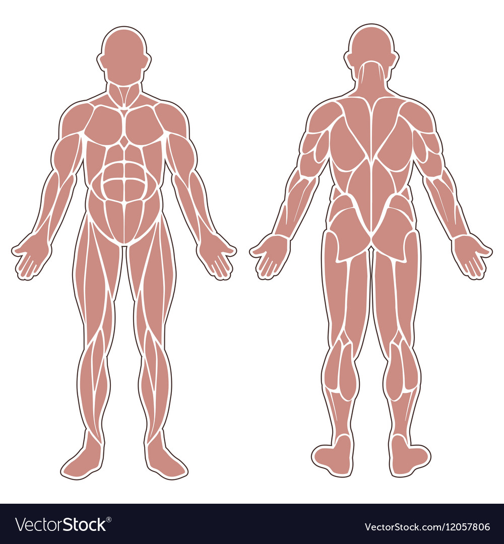 human body muscles royalty free vector image - vectorstock, Muscles