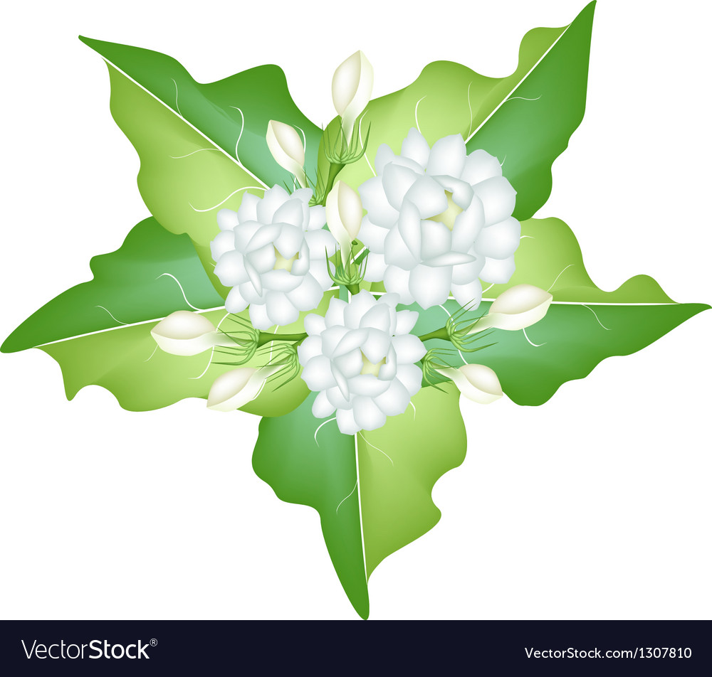 Jasmine Flowers On White Background Royalty Free Vector