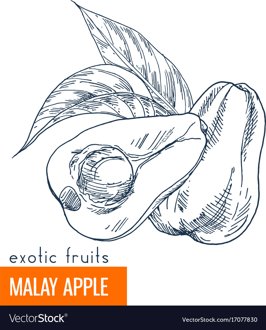 Malay apple hand drawn vector image