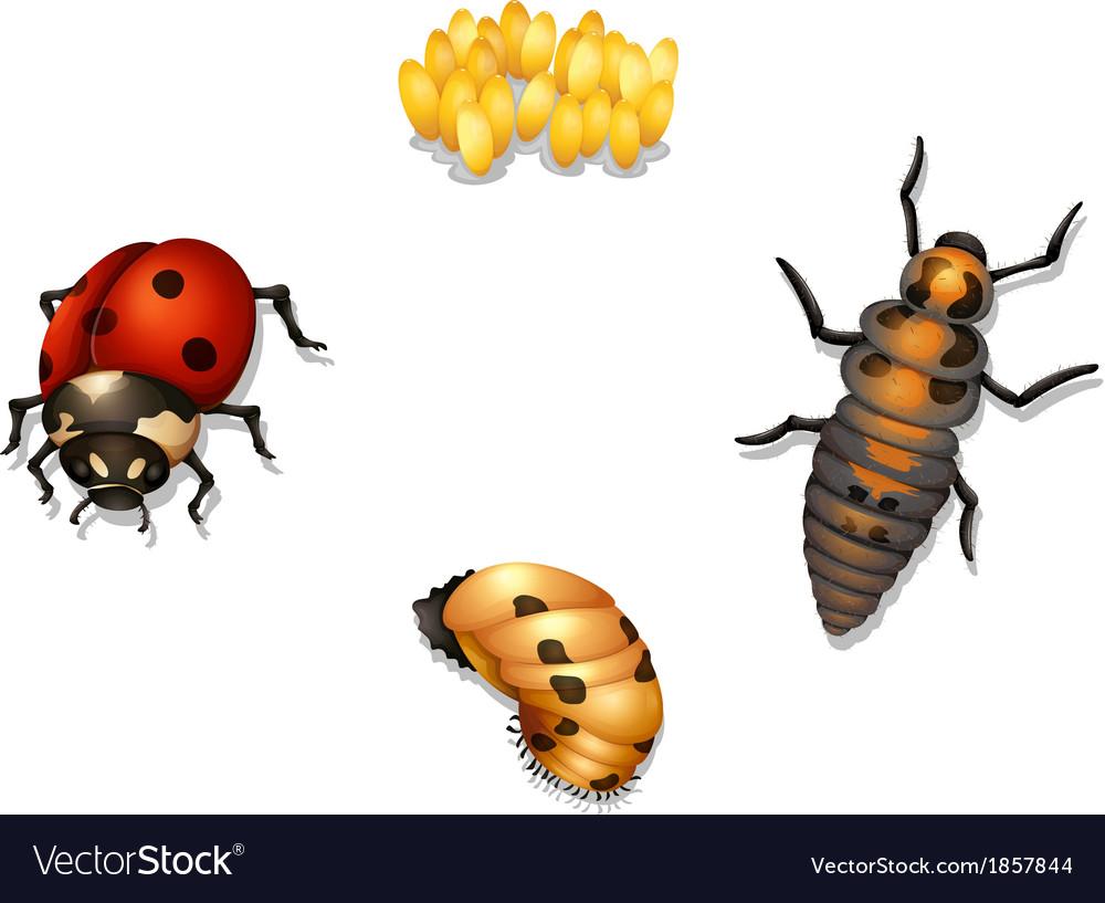 Ladybug life cycle vector image