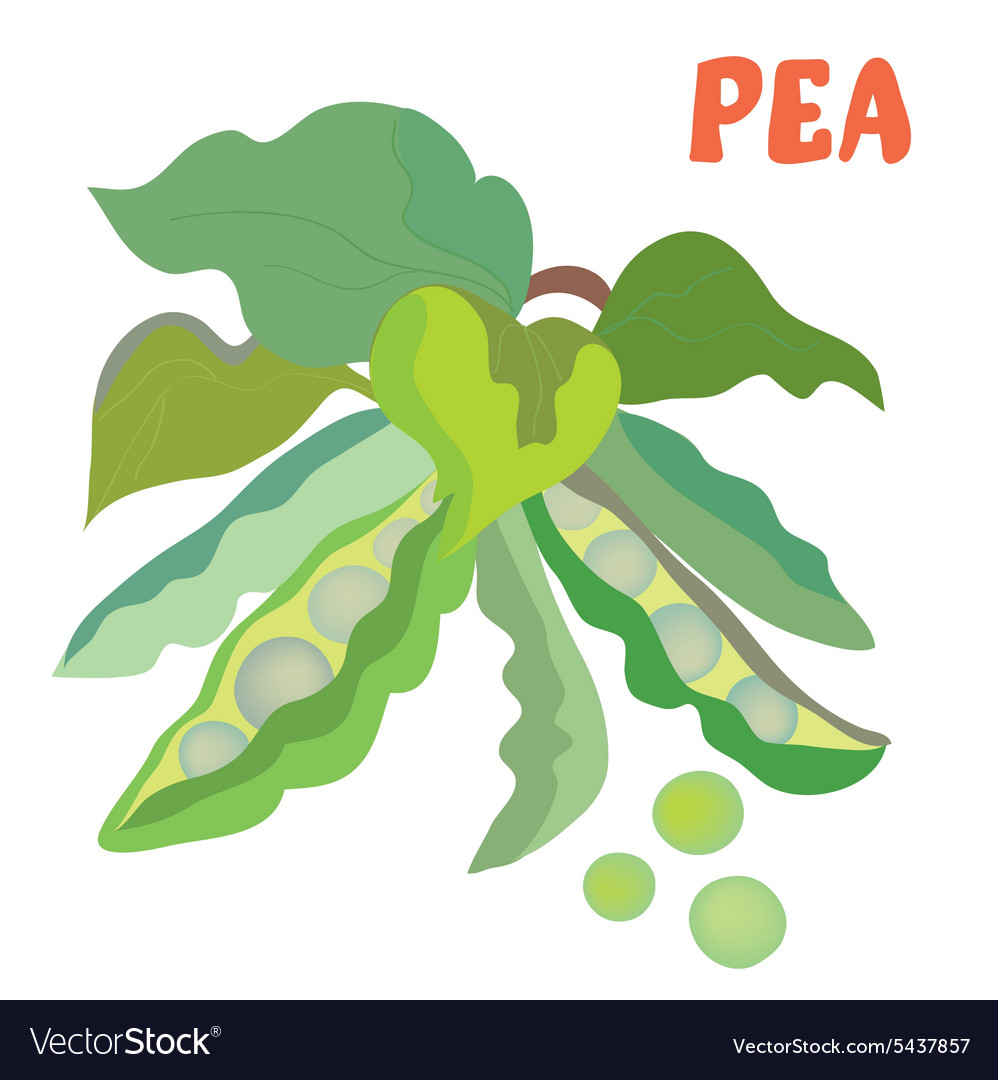 Green pea with beans vector image