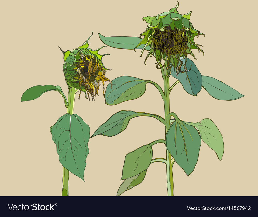 Die sunflower set of hand drawn sunflowers and vector image