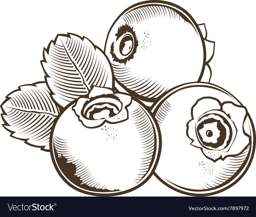 Bilberry in vintage style Line art vector image