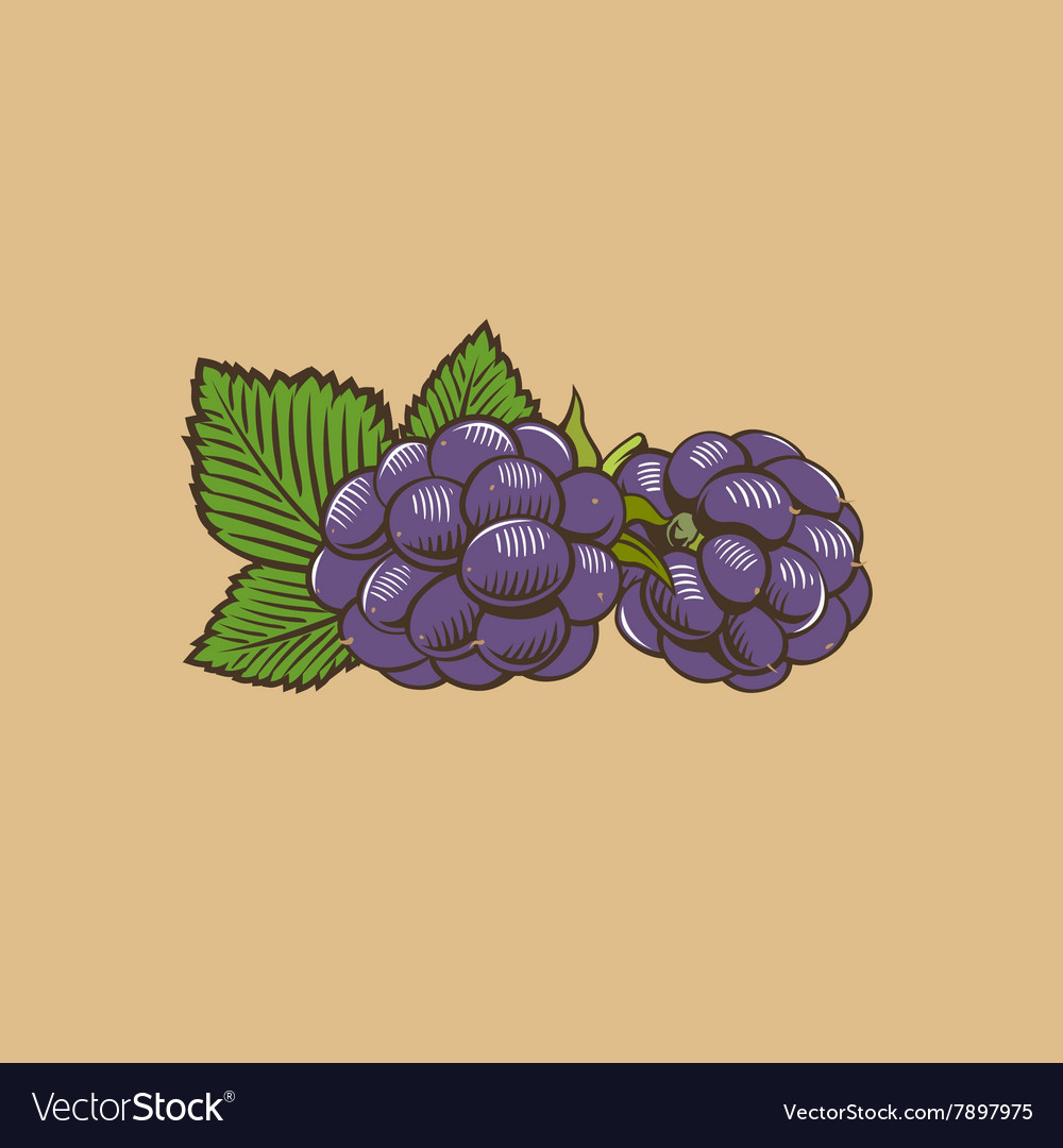 Blackberry in vintage style Colored vector image