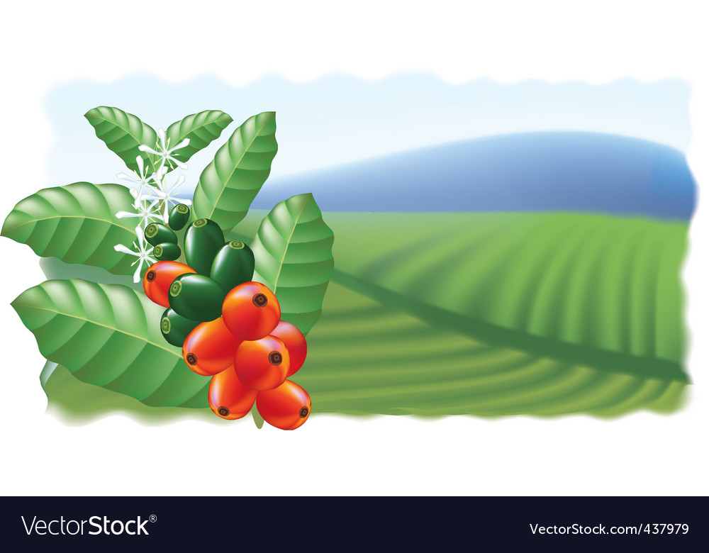 Fruits and flowers of coffee tree vector image