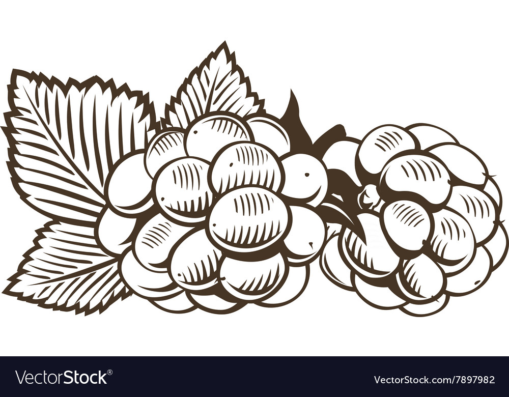 Blackberry in vintage style Line art vector image