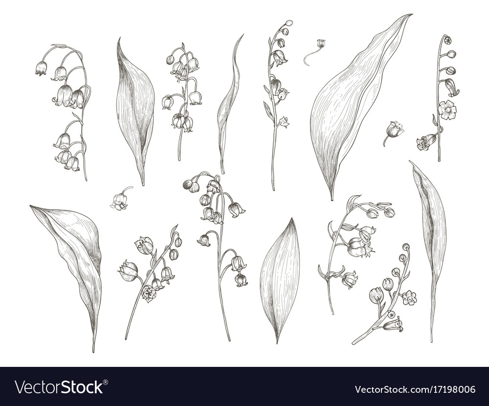 Gorgeous drawing of lily of the valley parts - vector image