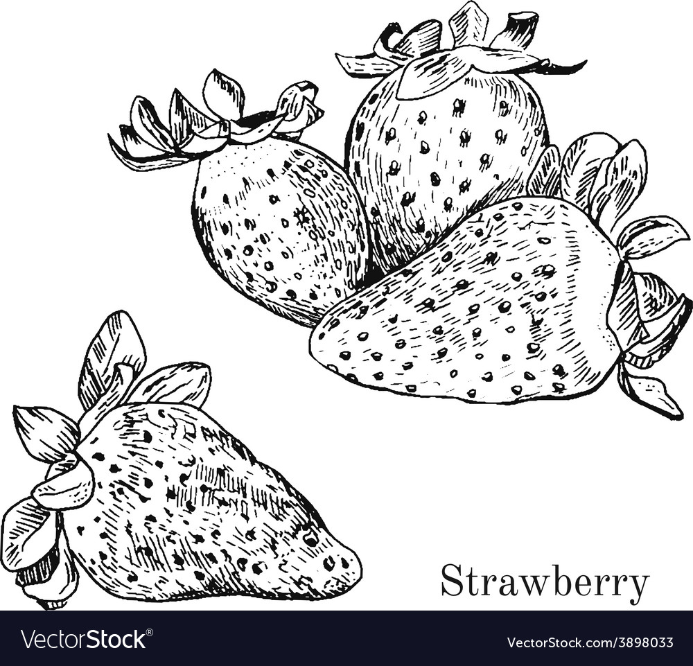 Hand drawn strawberry ink sketch vector image