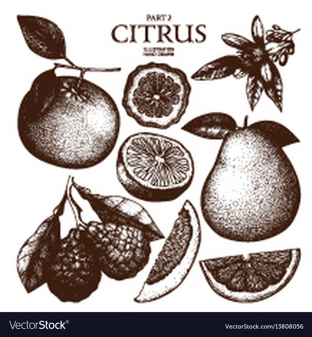 Ink hand drawn citrus plants sketch vector image