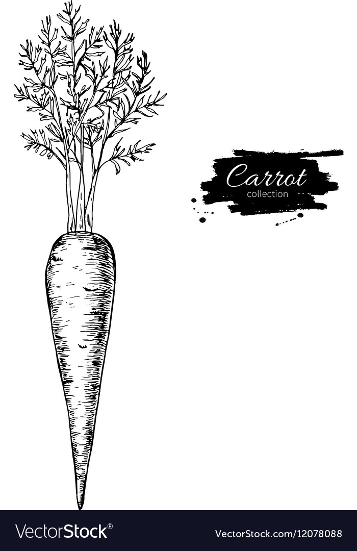 Carrot hand drawn Isolated vector image