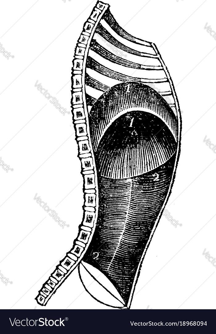 Diaphragm during expiration vintage vector image
