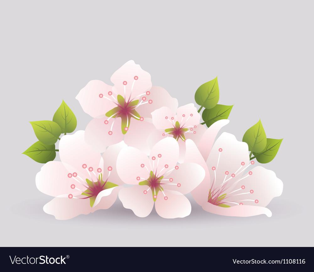 Cherry flowers vector image