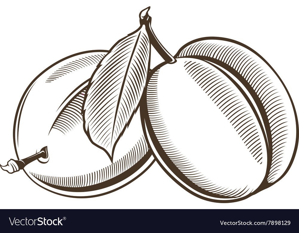 Plums in vintage style Line art vector image