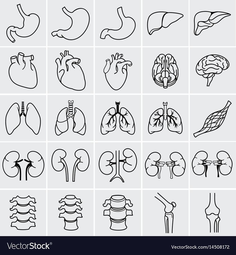 Internal human organs vector image