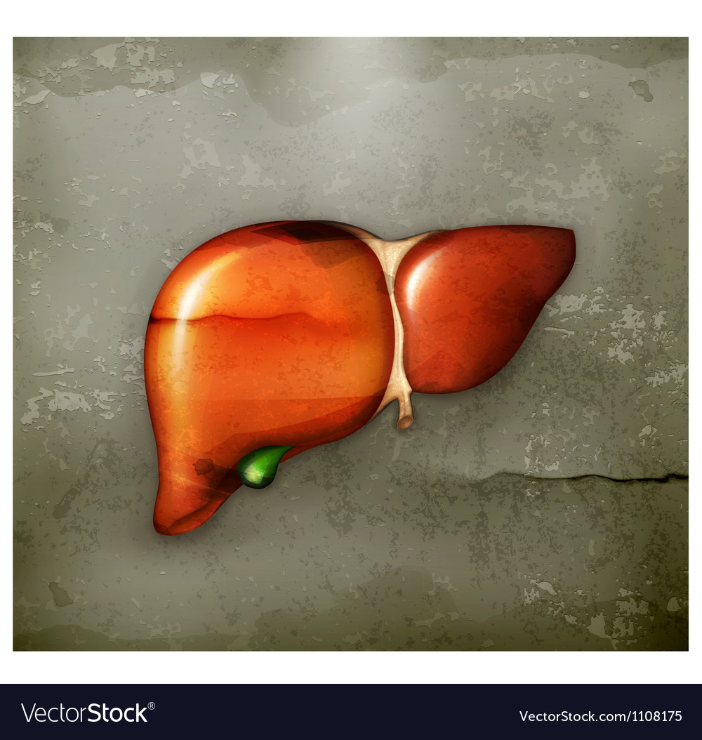 Human liver old-style vector image