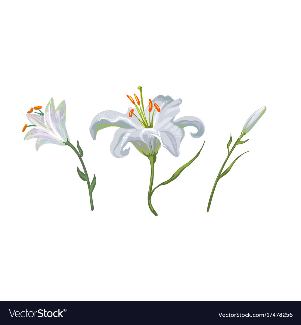 With white lily flowers in different royalty free vector with white lily flowers in different vector image izmirmasajfo Image collections