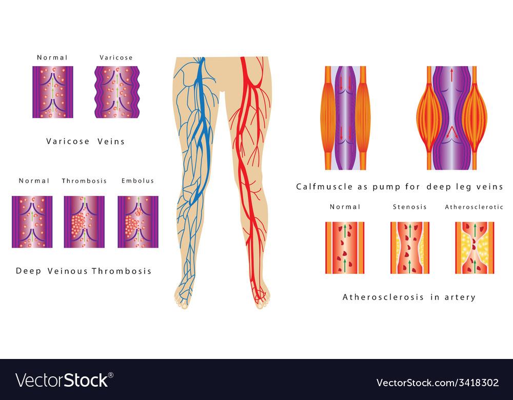 Vascular System Legs vector image