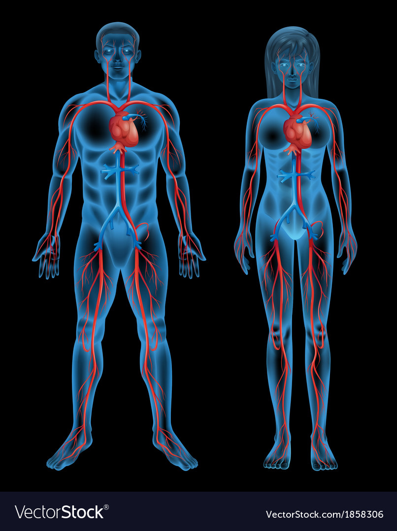 Circulatory system of a human vector image