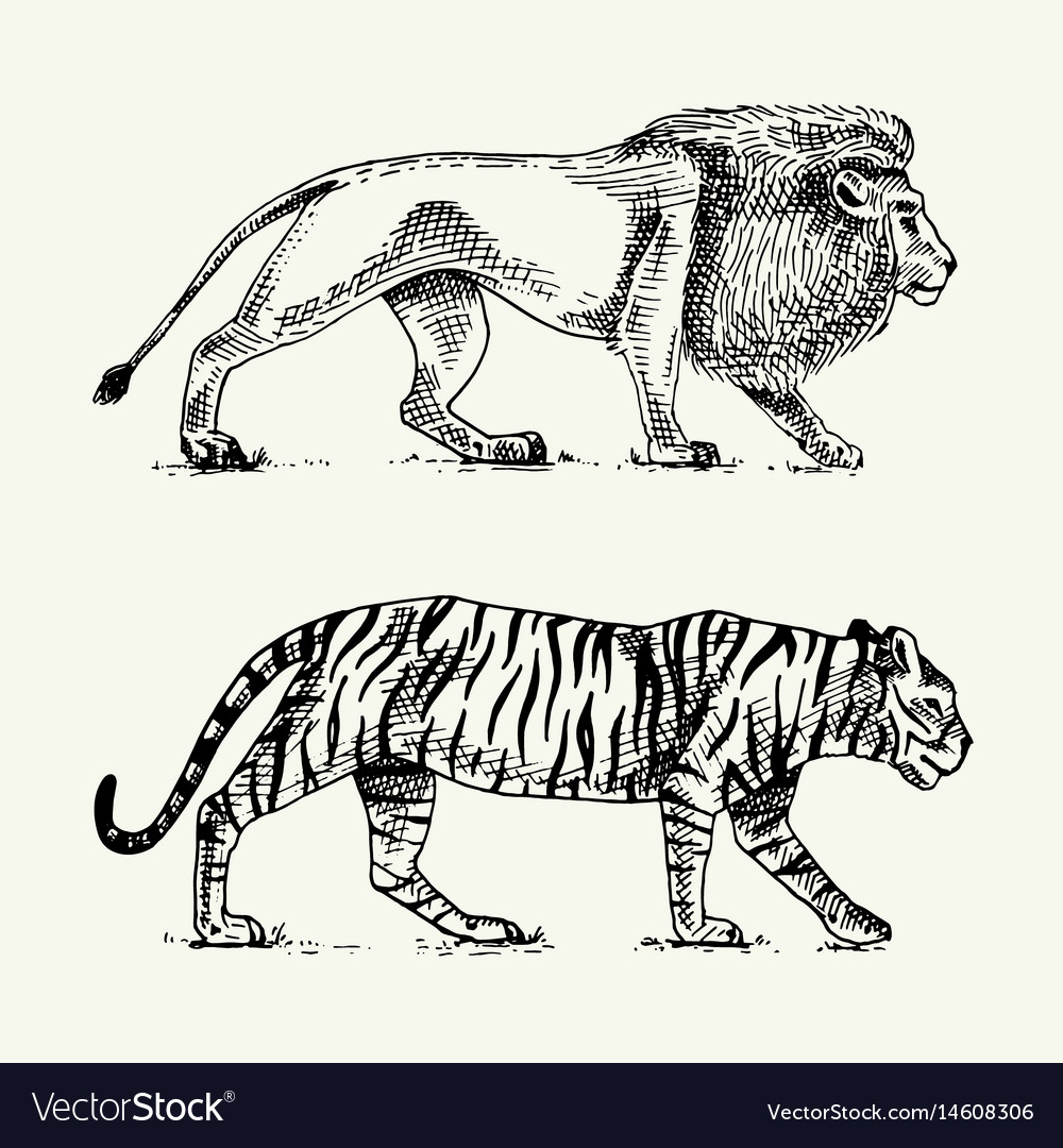 Wild cats set lion and tiger engraved hand drawn vector image