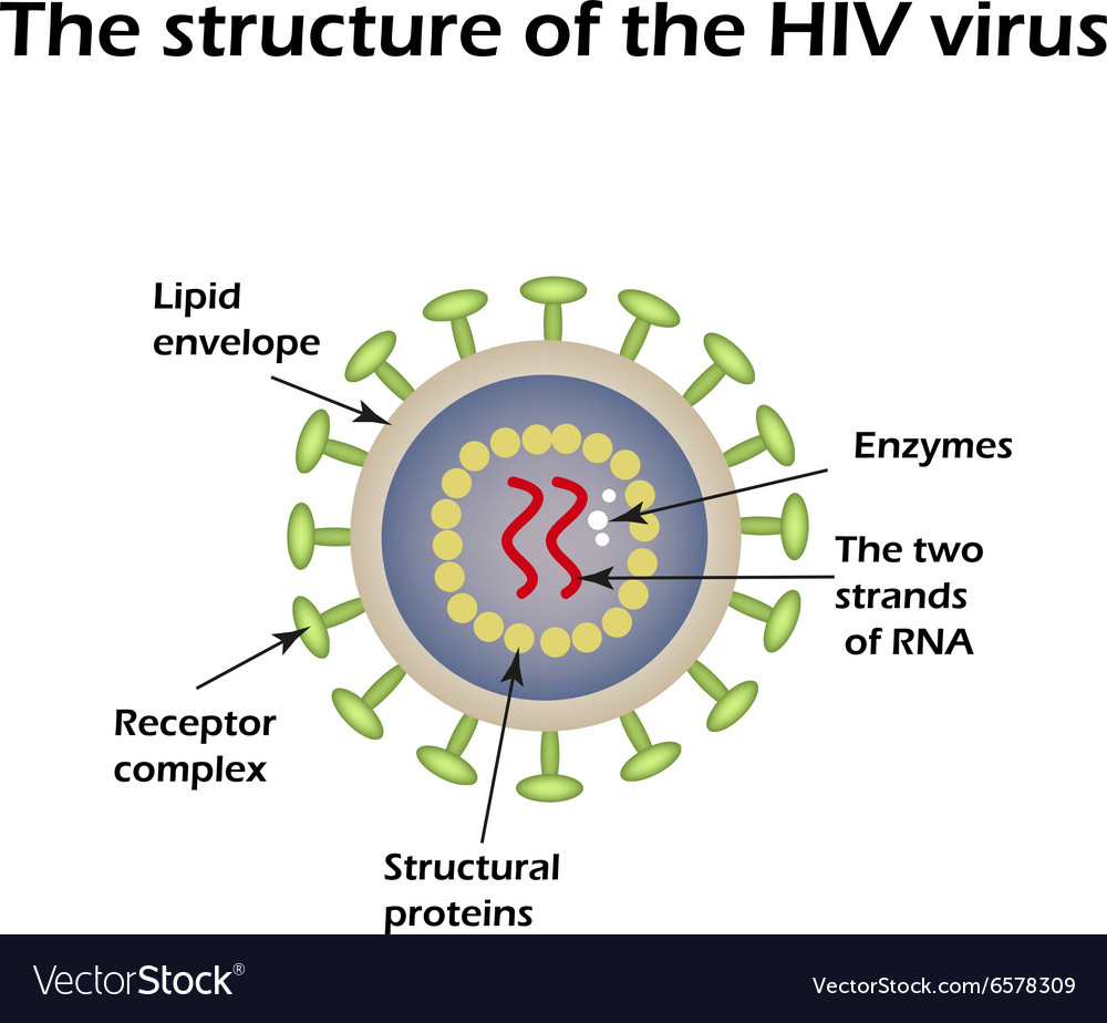 The structure of the AIDS virus HIV vector image