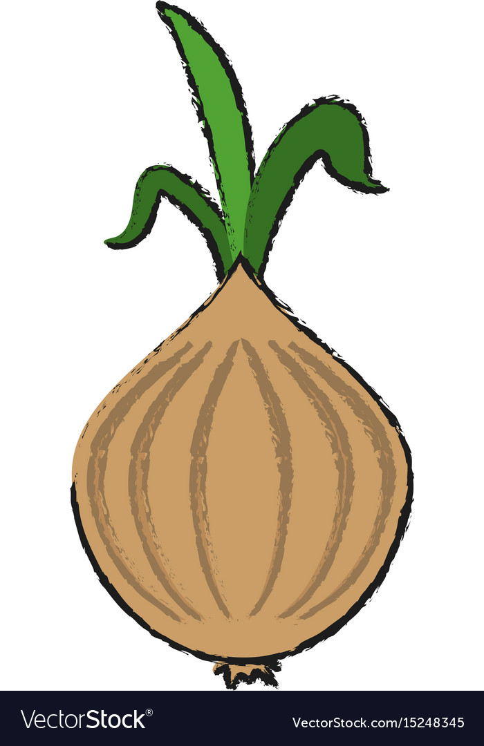Garlic food draw vector image