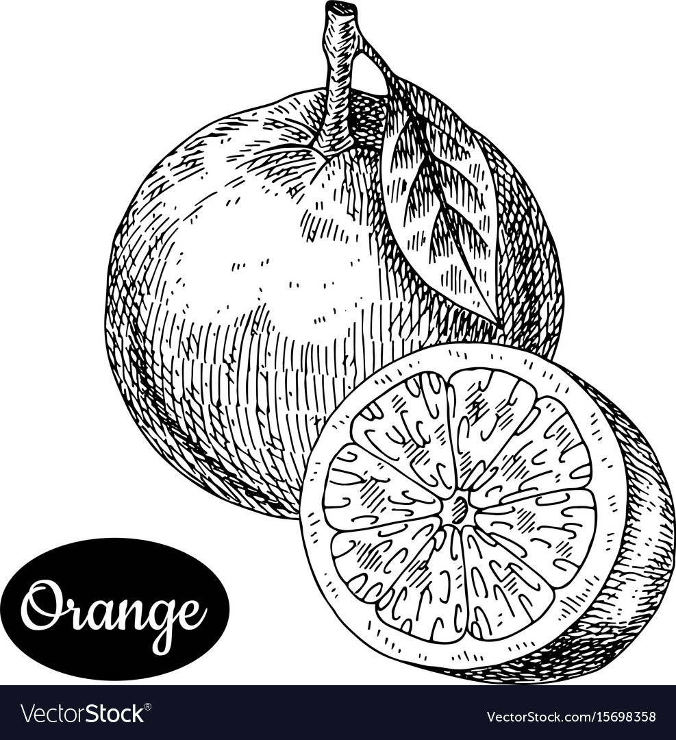Hand drawn sketch style fresh orange vector image
