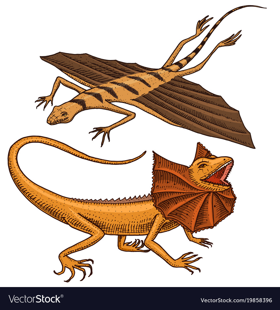 Frilled-necked lizard flying dragon or agama in vector image