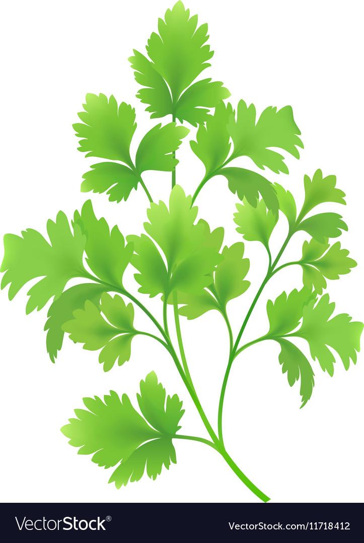 Twig of parsley vector image
