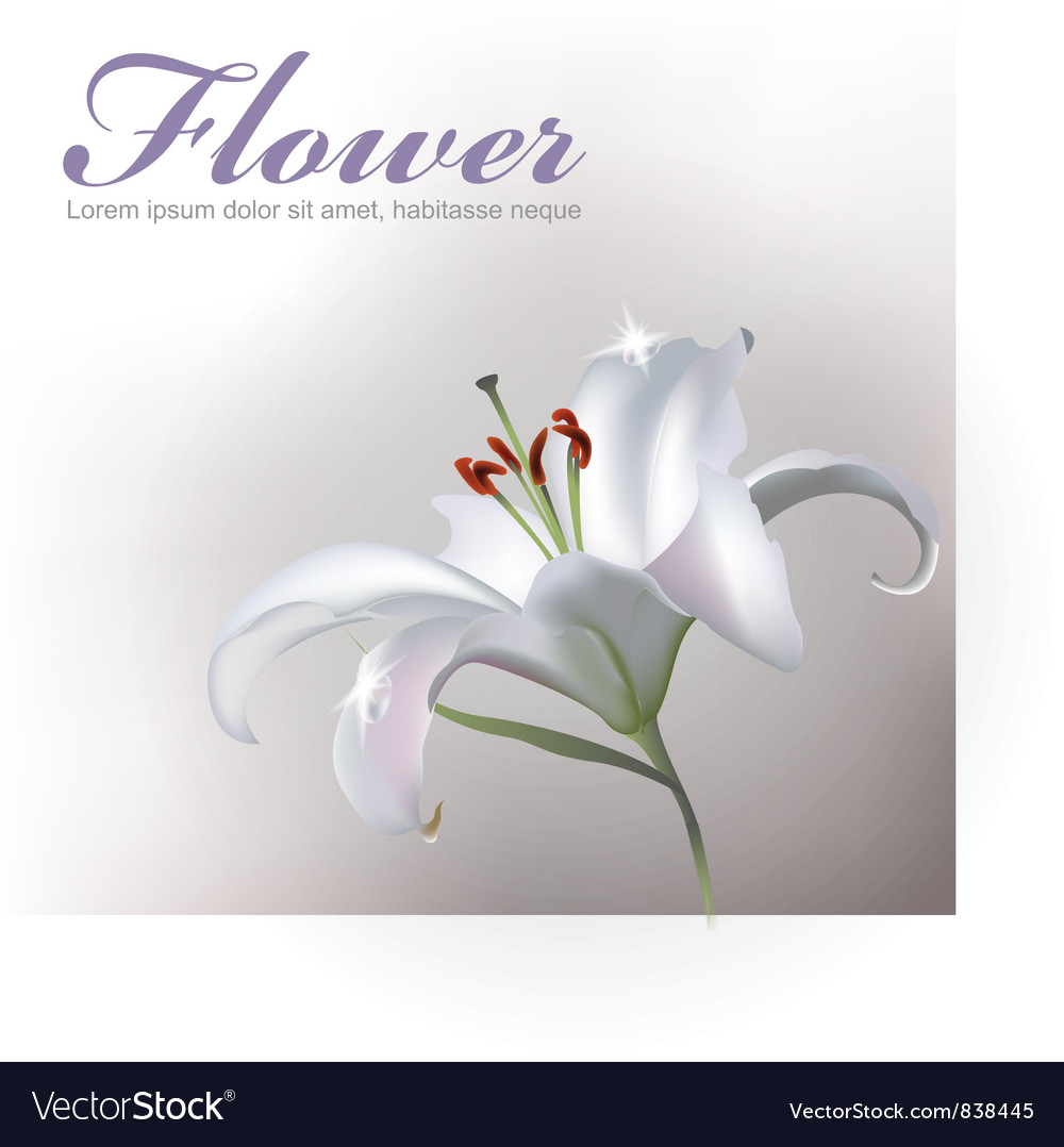 White Lilly Flower vector image
