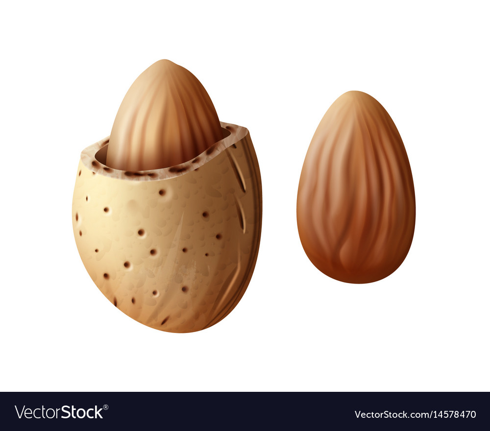 Two almond nuts vector image