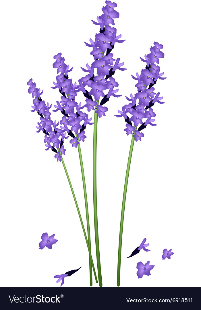Purple Lavender Flowers on A White Background vector image