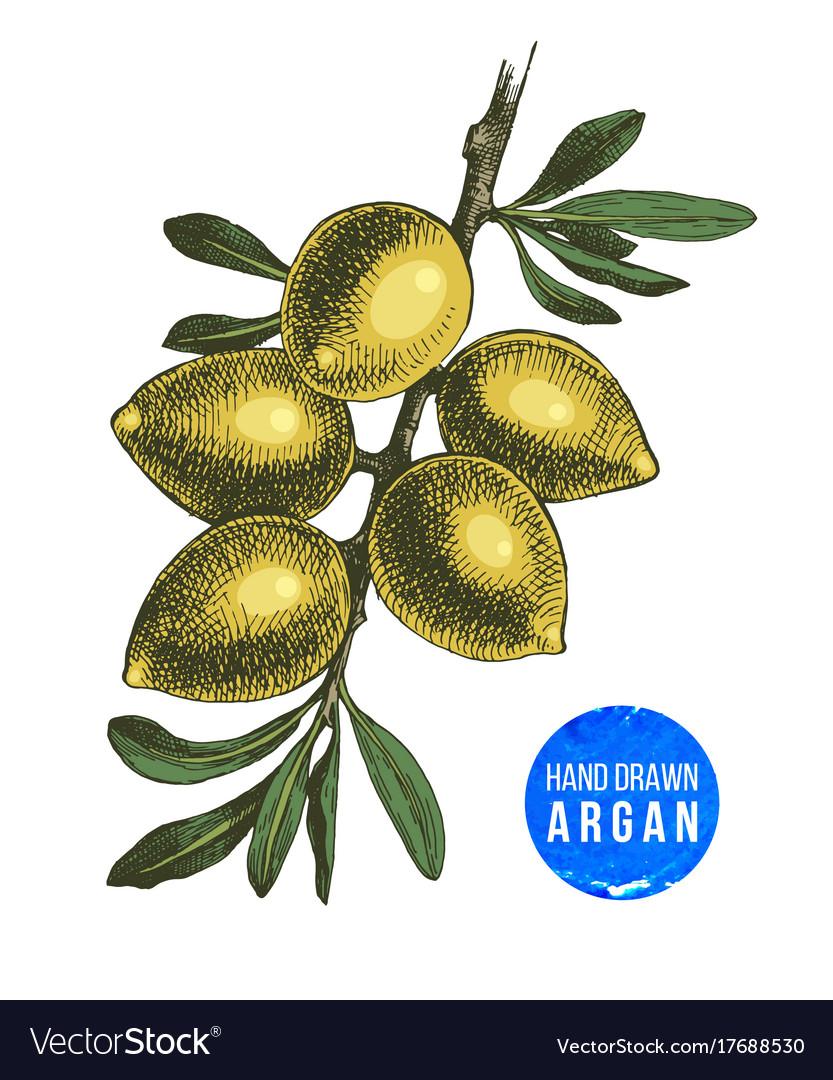 Hand drawn argan nuts branch vector image