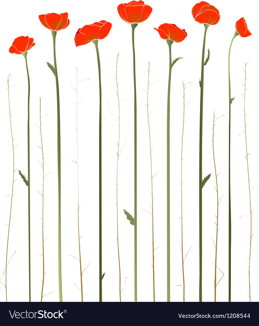 Beautiful Red Poppies vector image