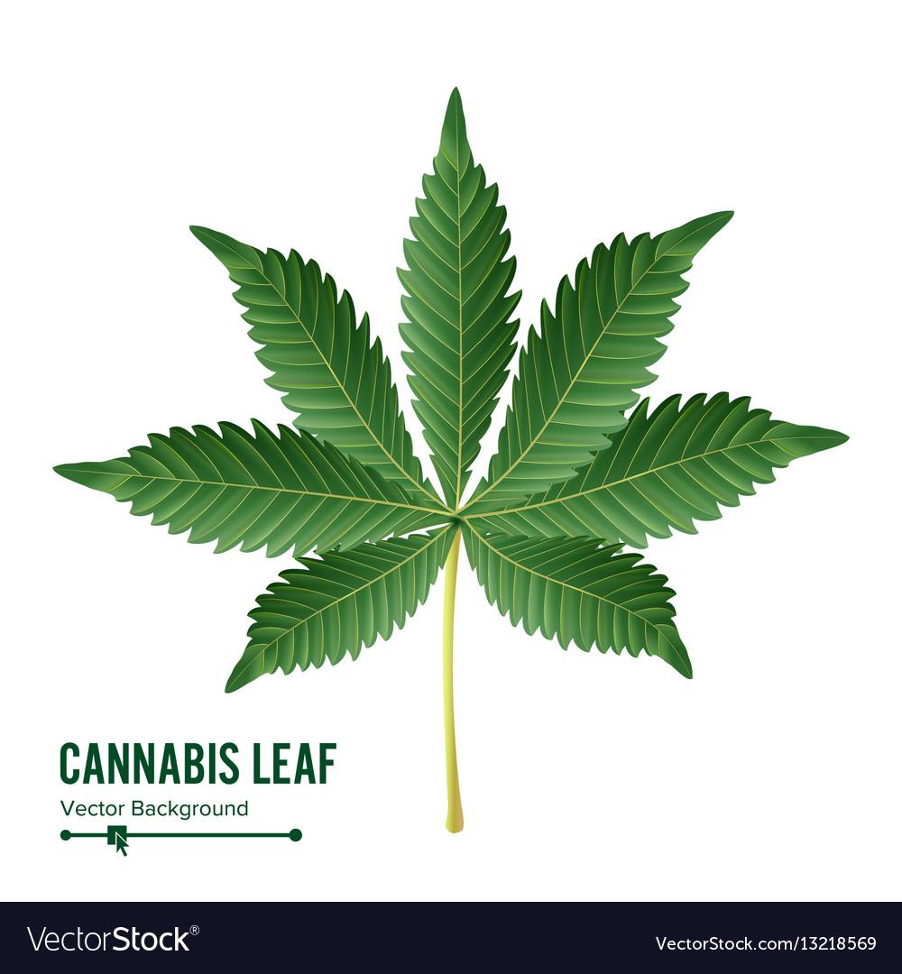 Cannabis leaf green cannabis cannabis vector image