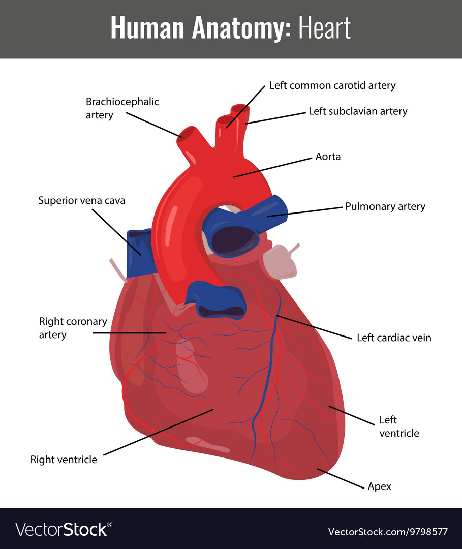 human heart detailed anatomy medical royalty free vector image, Muscles