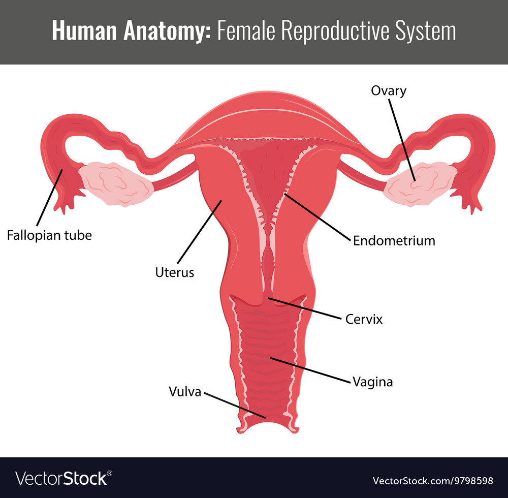 Beautiful Anatomy And Physiology Of Cervix Composition - Physiology ...