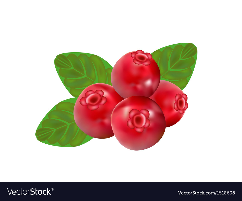 Cranberry vector image