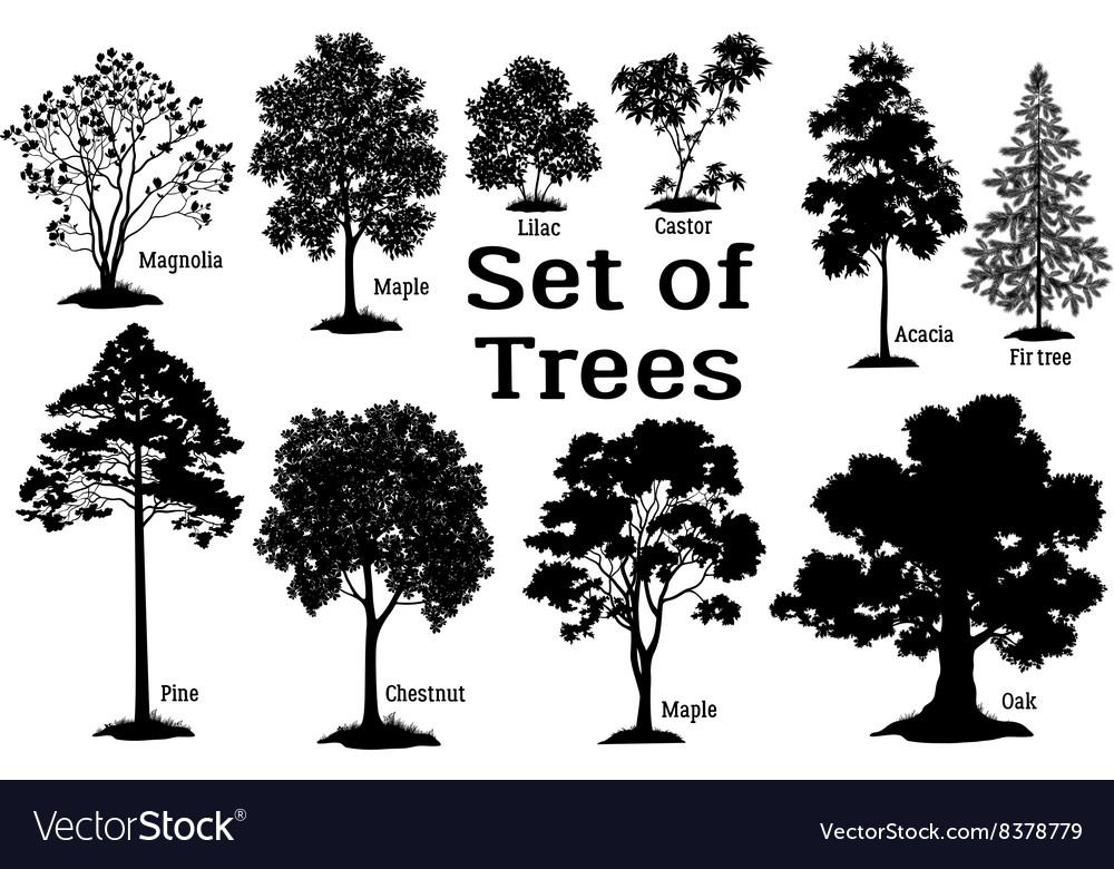 Pine Tree Black Silhouette vector image