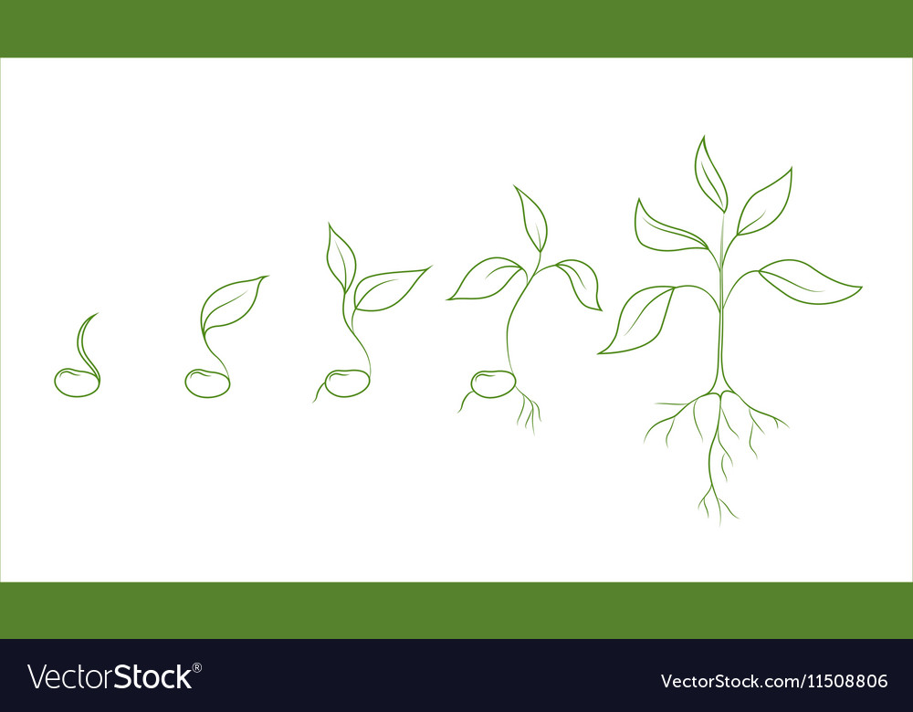Kidney bean plant growth phases vector image