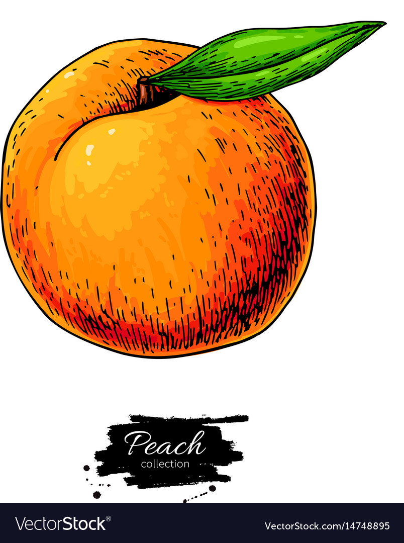 Peach drawing isolated hand drawn object vector image