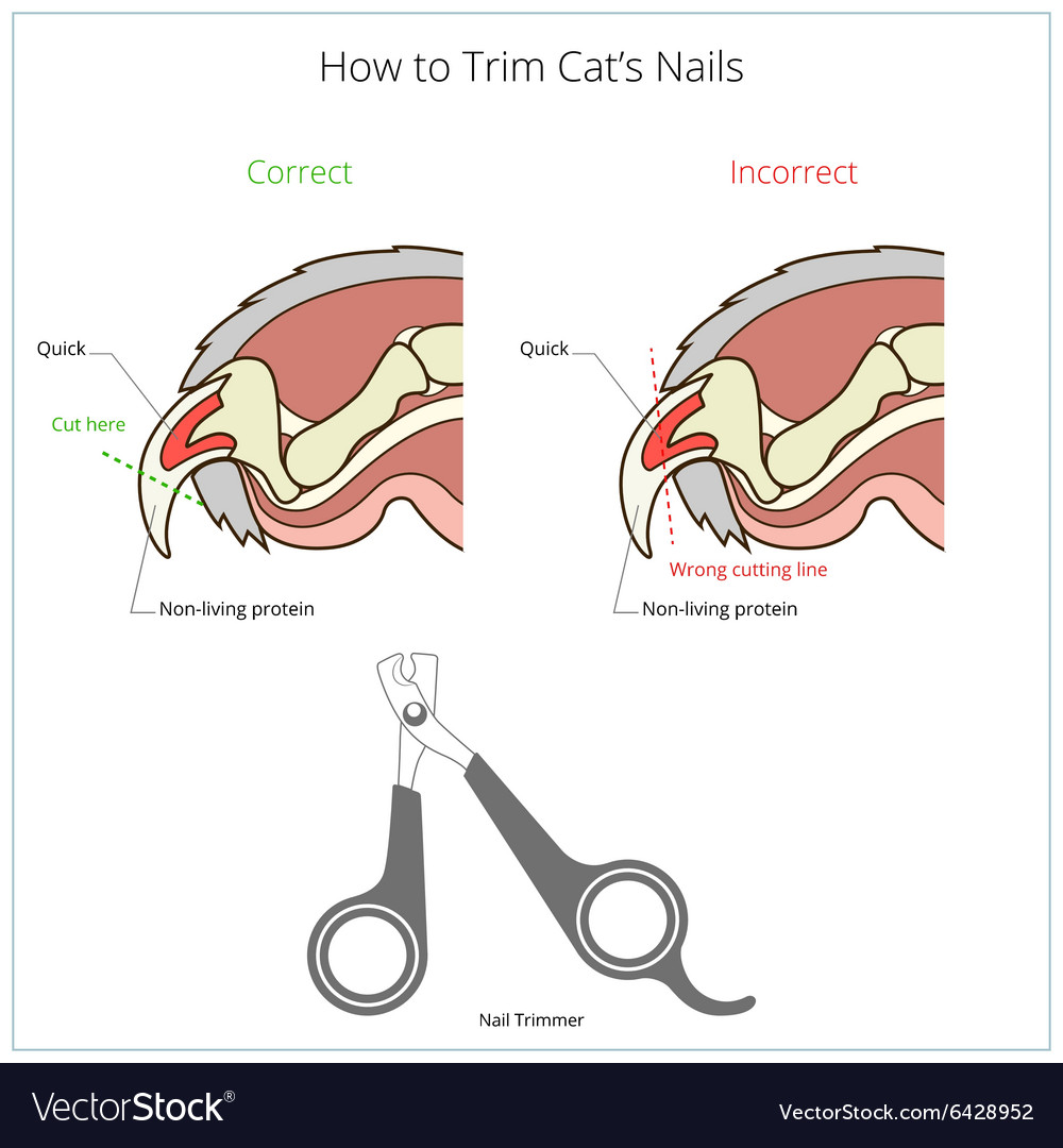 How to cut cat nail veterinary instruction Vector Image
