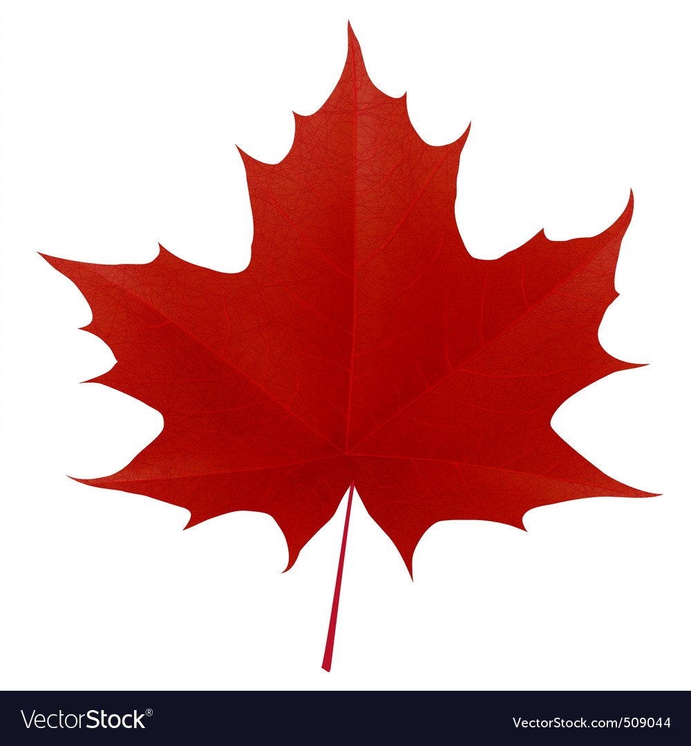 Realistic red maple leaf vector image