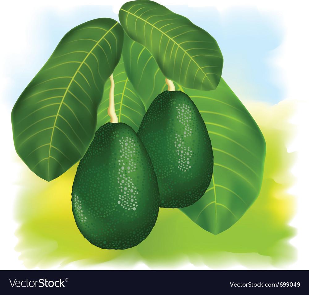 Avocados vector image