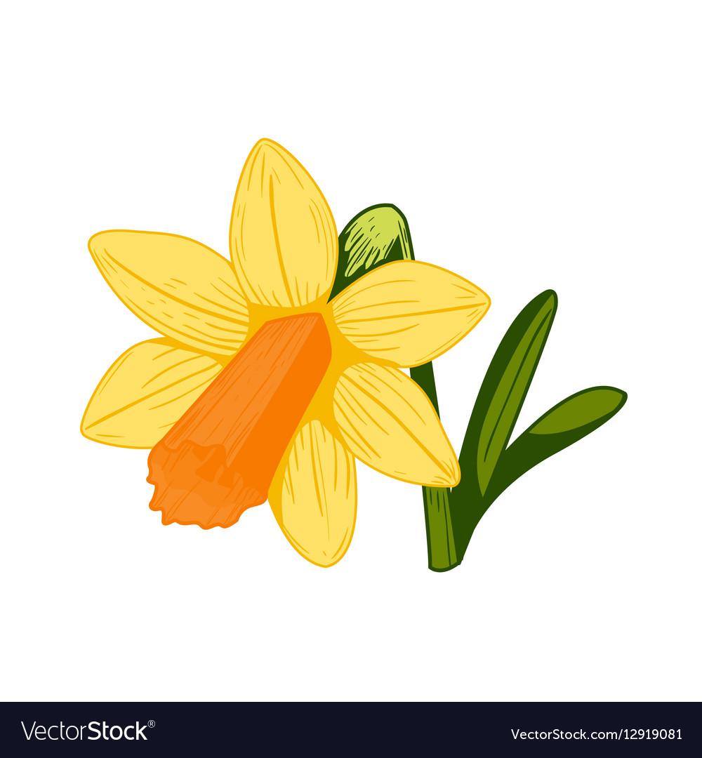 Vintage daffodil flower vector image