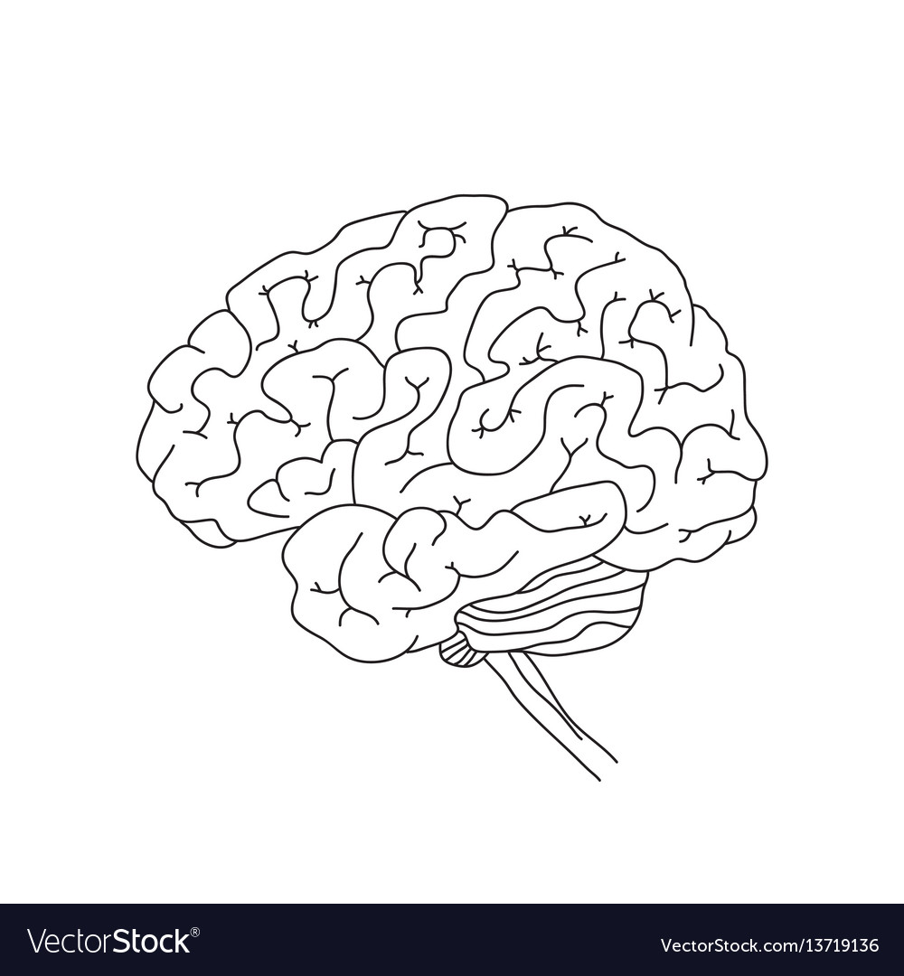 Human brain isolated on vector image