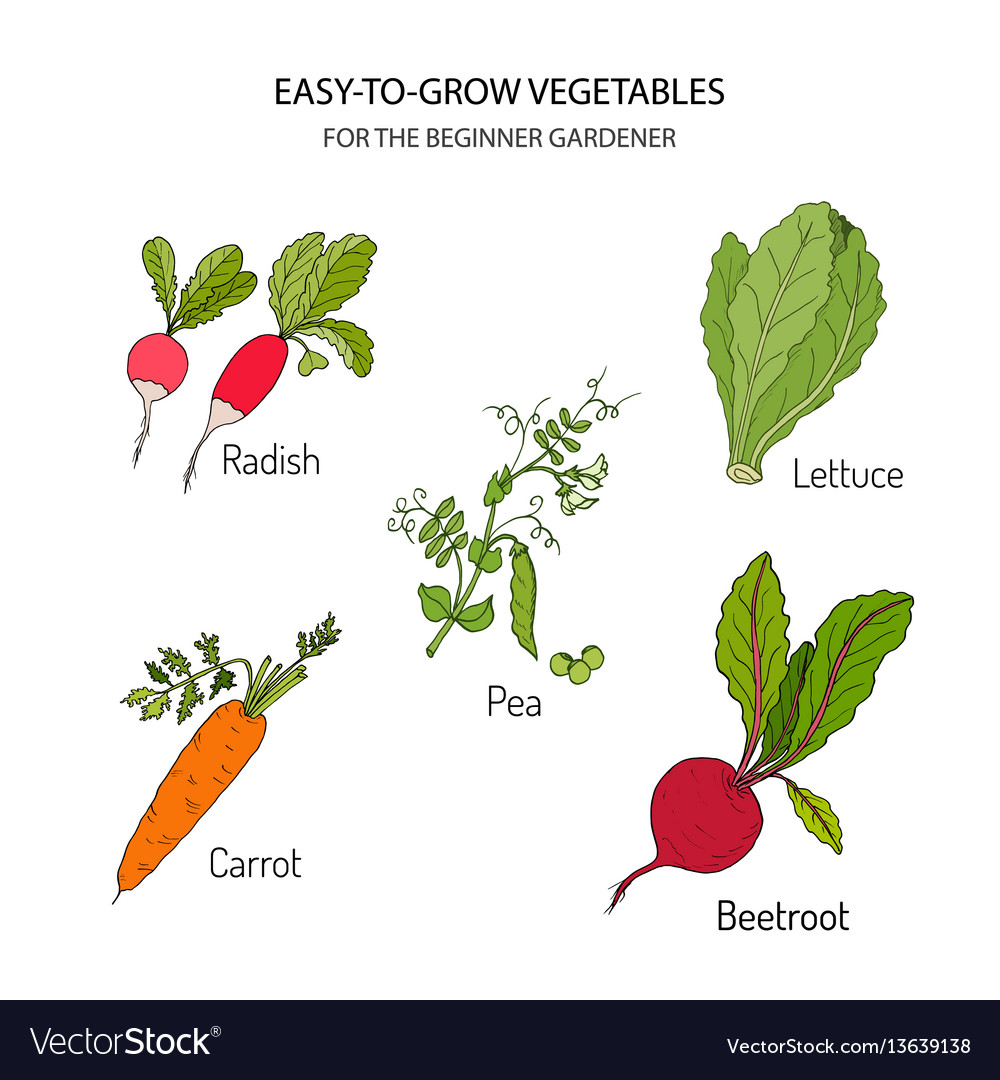 Vegetables for the beginner gardener vector image